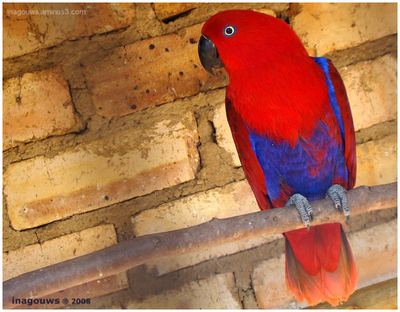 Red sided eclectus female parrot