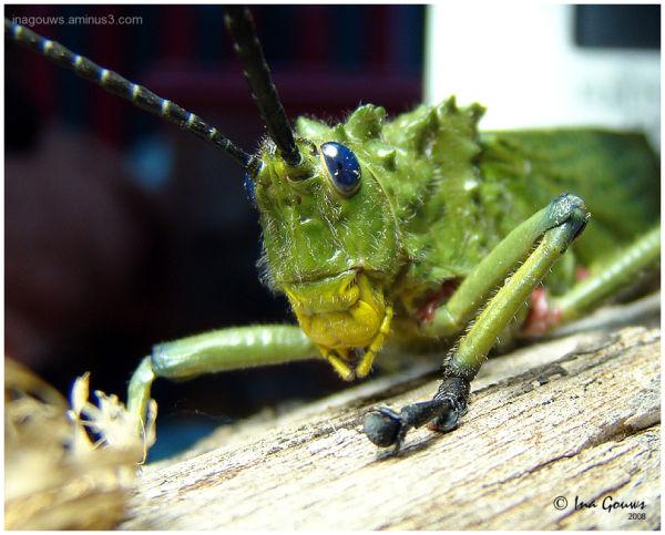 Groen springkaan met blou oe