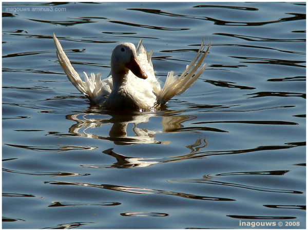 White goose with angel wings