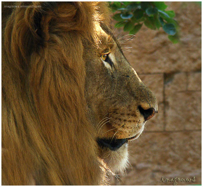 Male Lion at Harbeespoort