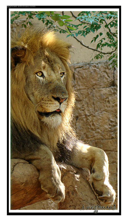 Male Lion at Hartbeespoort