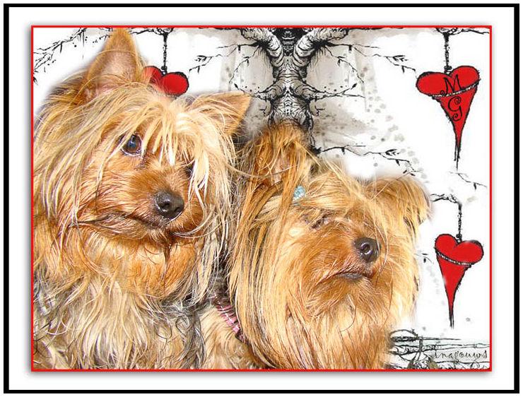 Yorkies in Love