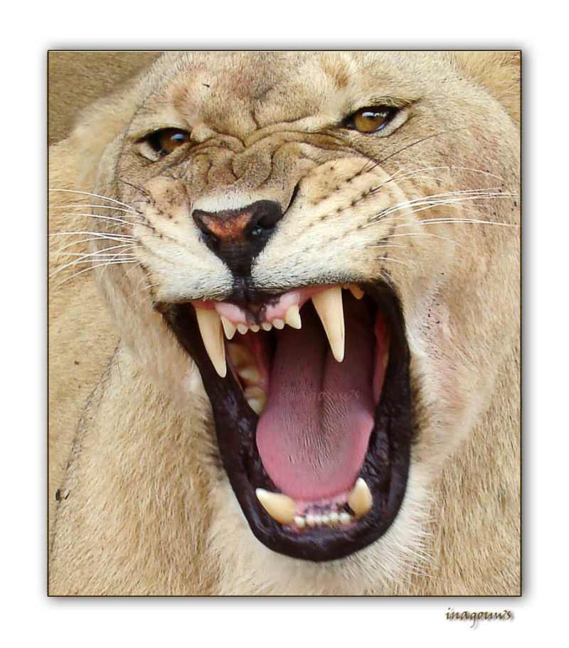 Growling lion, pride of Africa