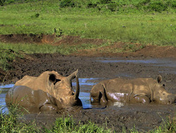 Rhino taking a mud bath