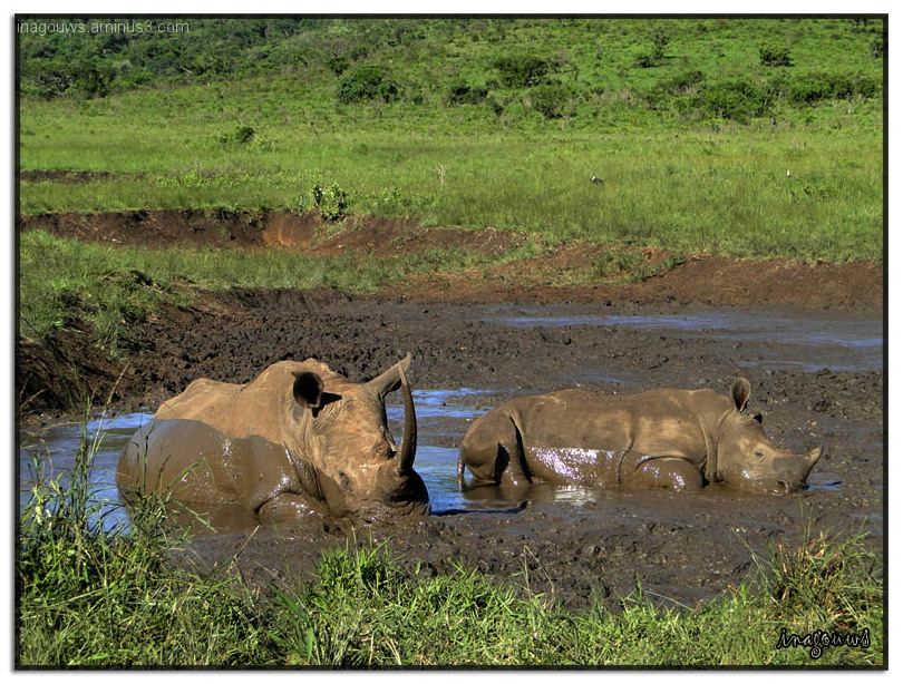 Rhino taking a mud bath