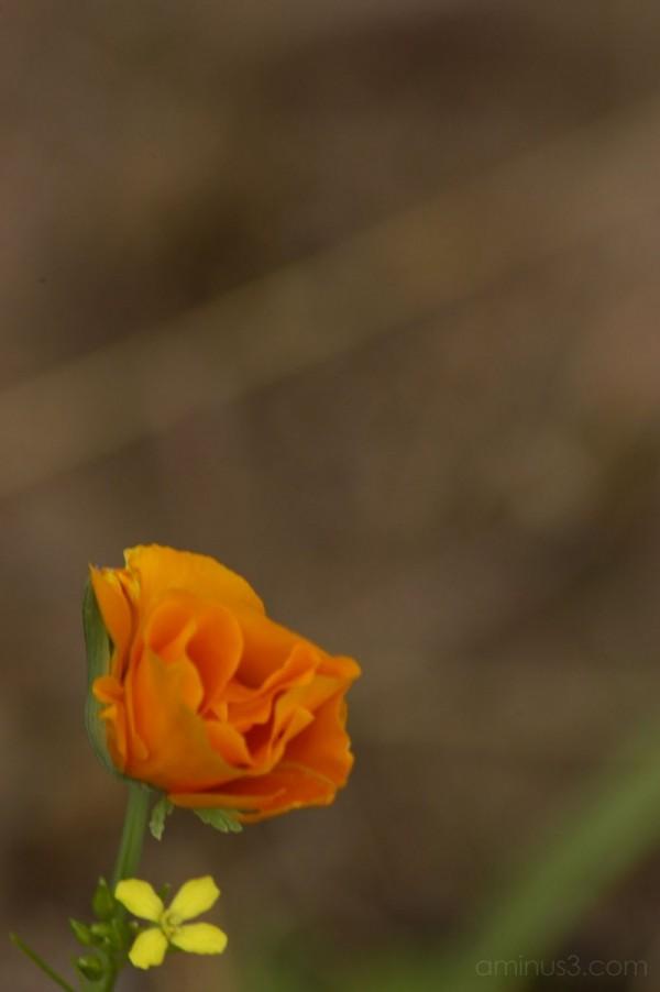 Poppy With Wildflower