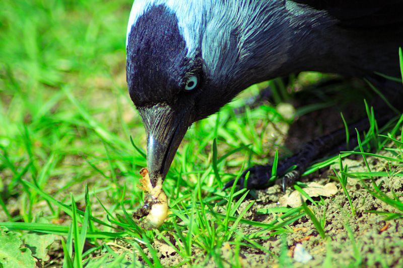Jackdaw catching prey