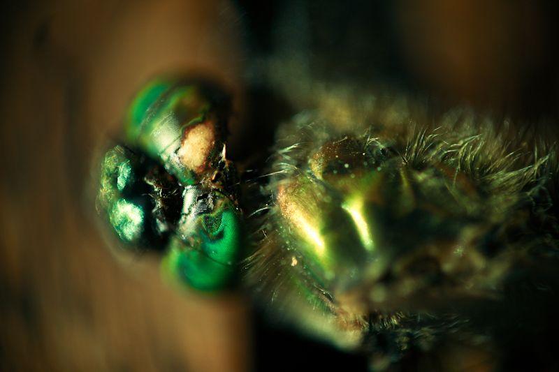 50by58macro - Dragonfly (bitten by my lizard)