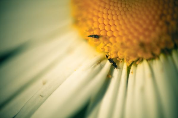 50by58macro - Oxeye daisy with friends