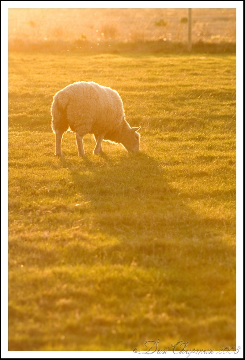 Sheep in the sunlight