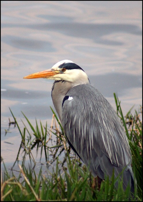 Grey Heron River Beeston RiverTrent