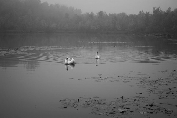 Lonely Swans