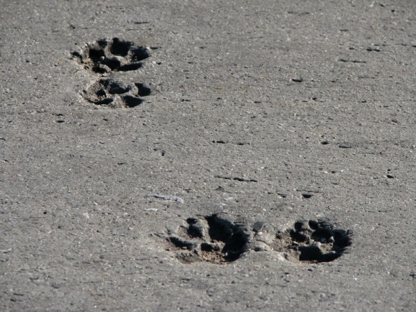 dog paw prints in cement