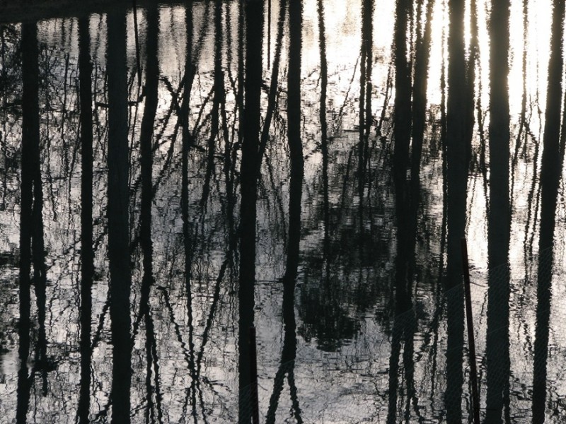 reflection of cedar trees in pond