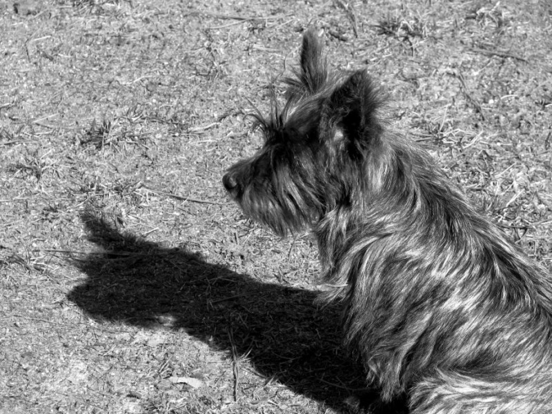 terrier dog and shadow