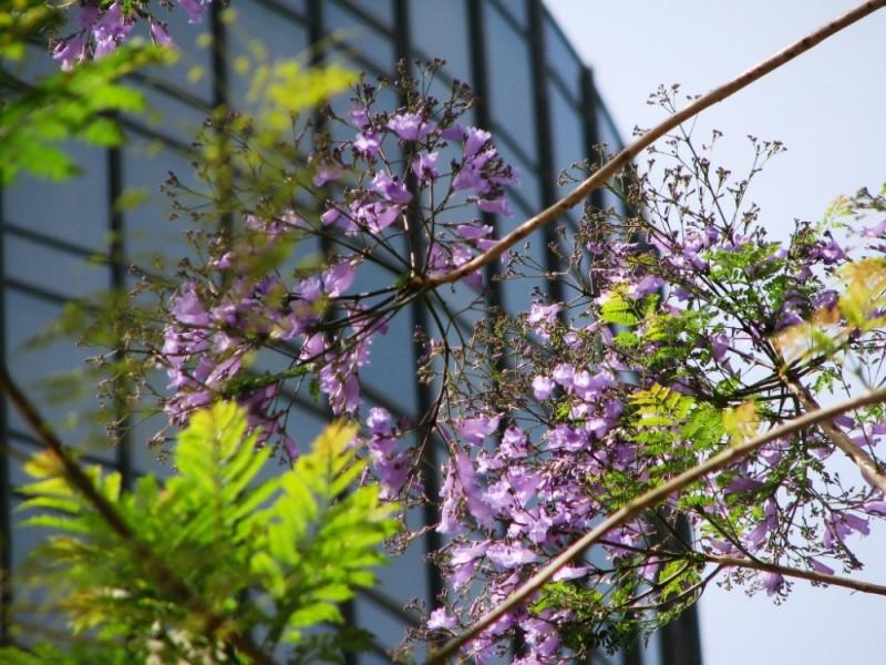 jacaranda blooms in downtown los angeles