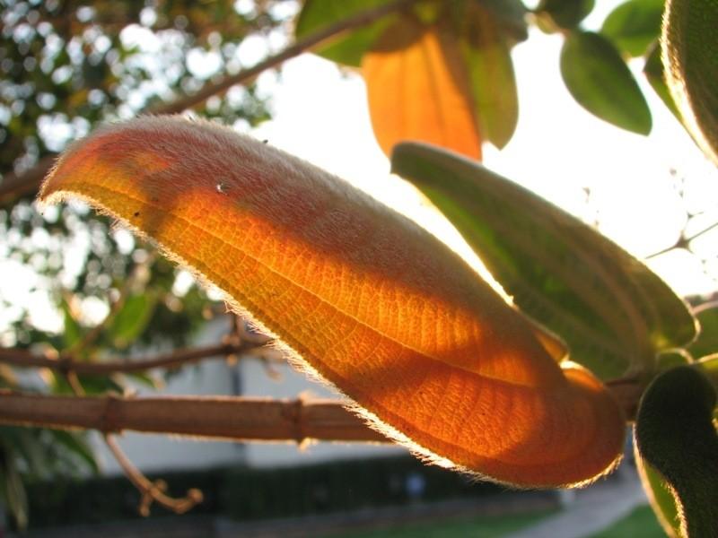 fuzzy leaf iluminated by setting sun