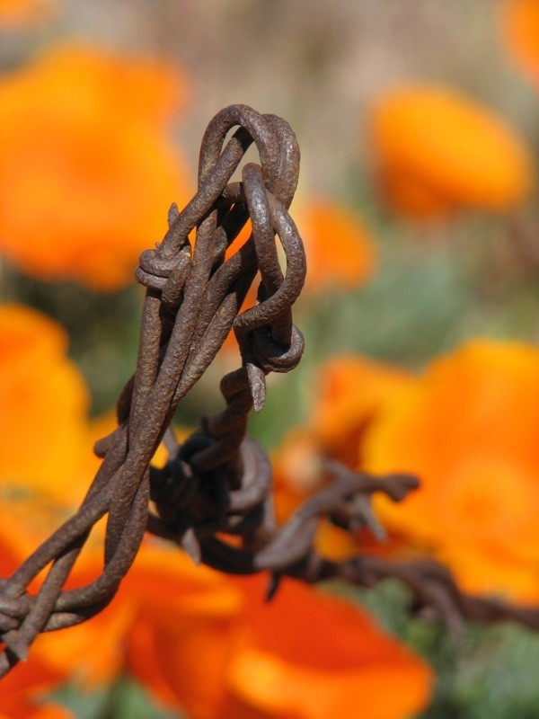 barbed wire by california poppies