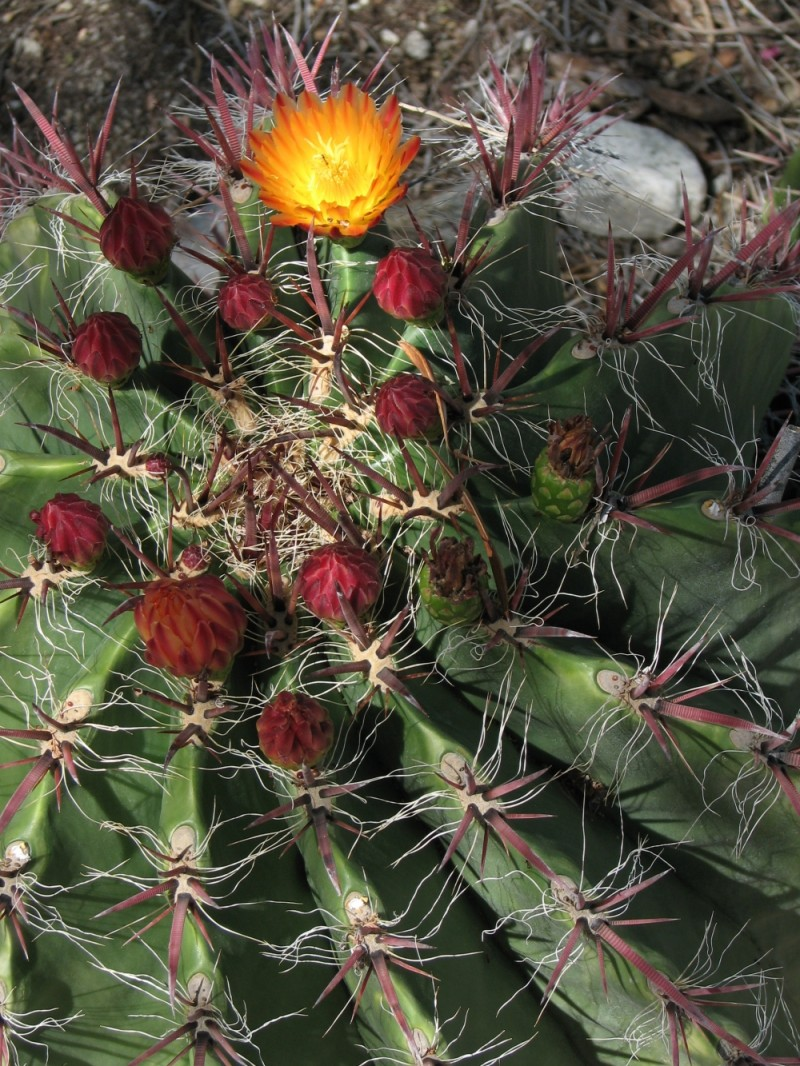 flower on barrel cactus