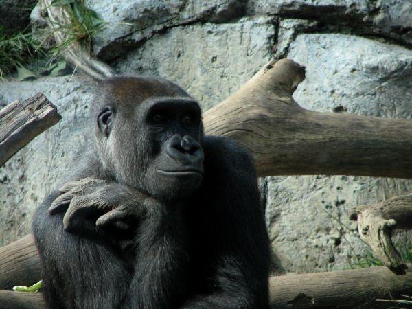 gorilla poses for photo