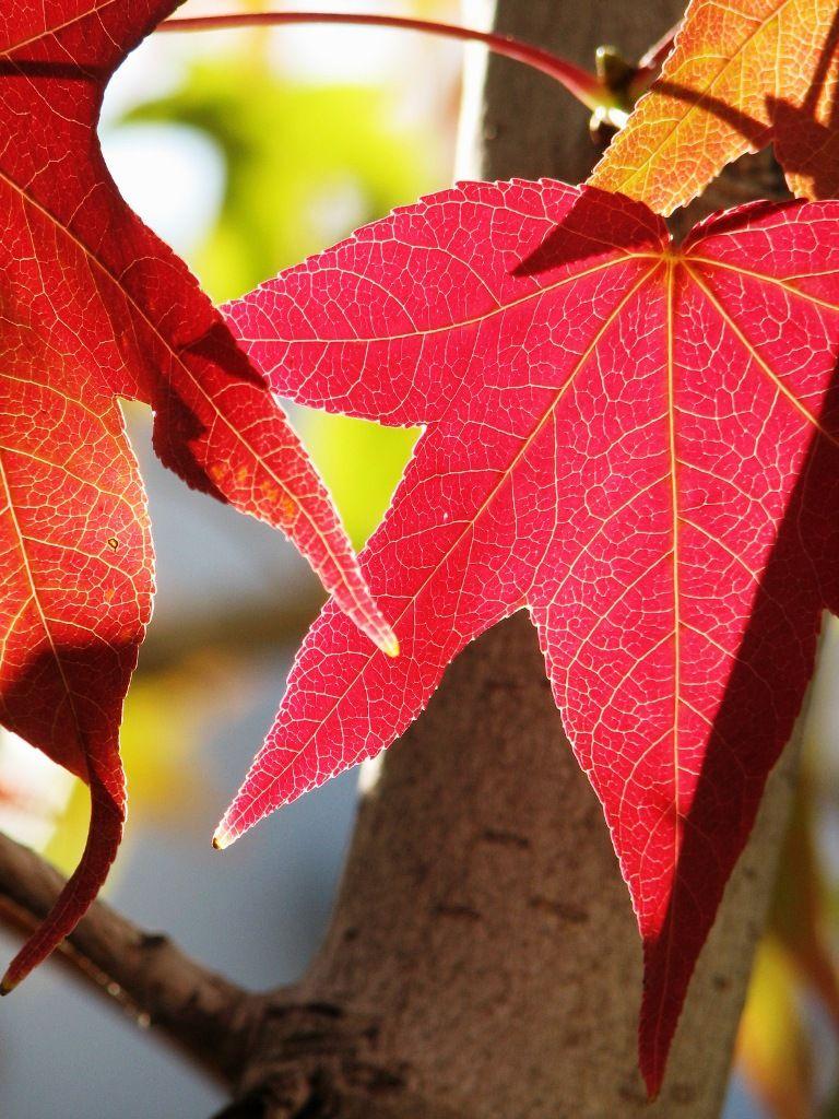red sweetgum leaves