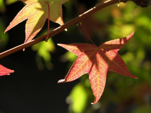 green sweetgum leaves