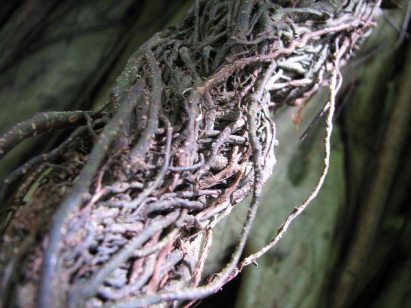 banyan tree vines