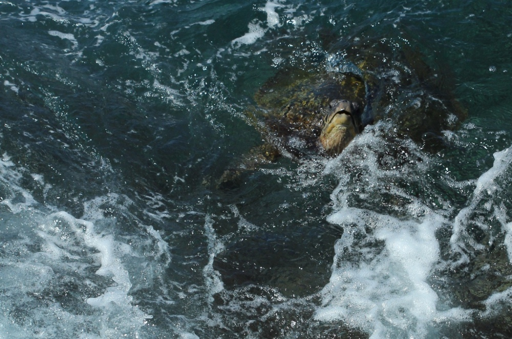 sea turtle by Kauai