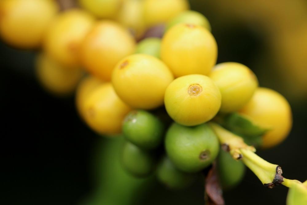 Kauai Coffee beans