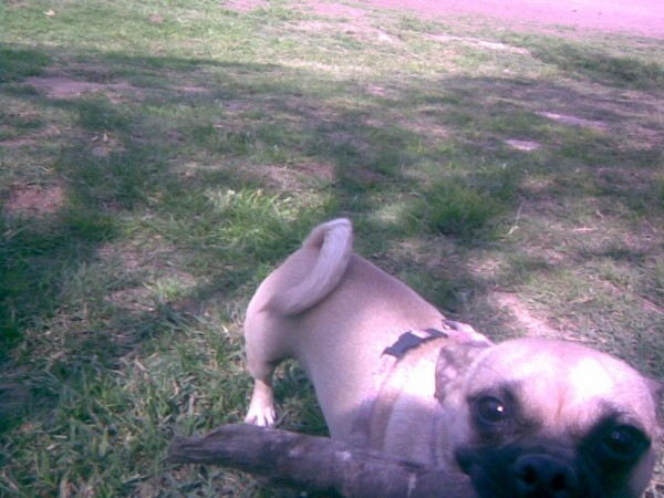 Dog wants to play fetch with stick.