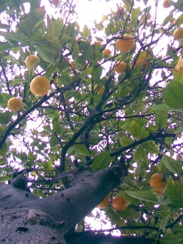 An orange tree in Northridge, California.