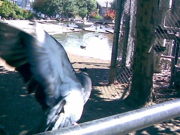 Pigeon flaps away, by Lake Merritt.