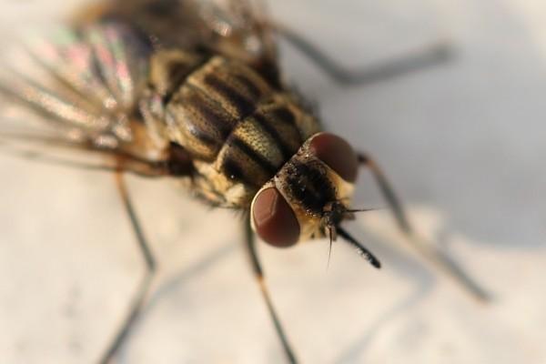 A fly. Photo taken using an EFS 60mm f/2.8.