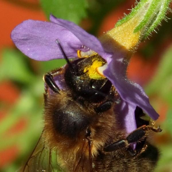 A bee feeding on pollen.