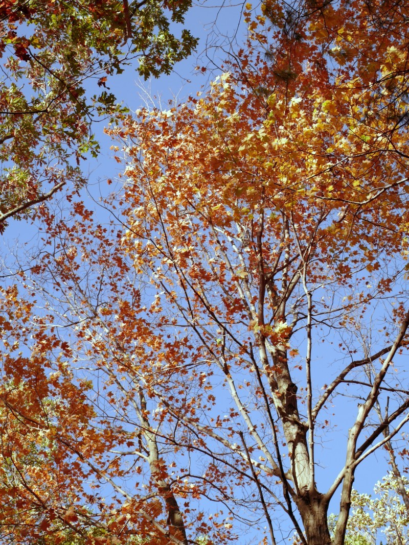 looking up through the fall maples