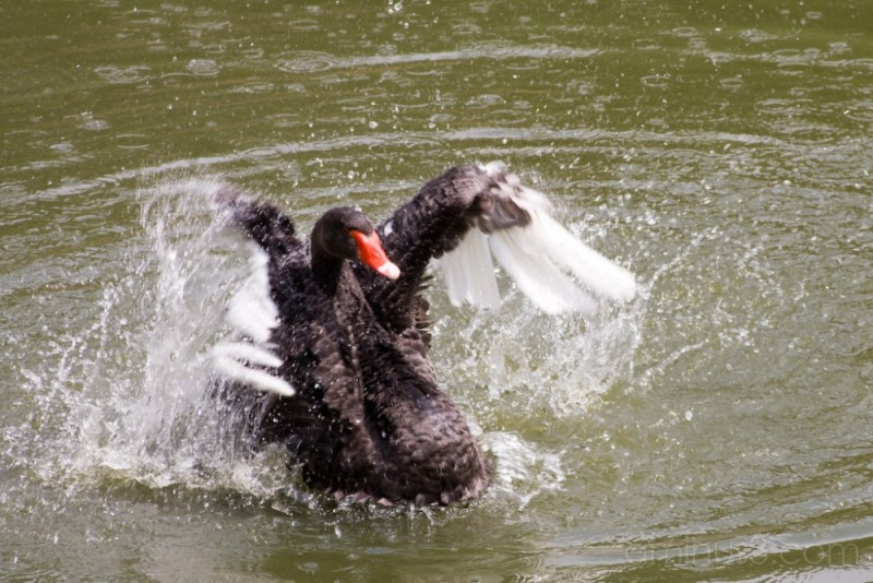 Black swam