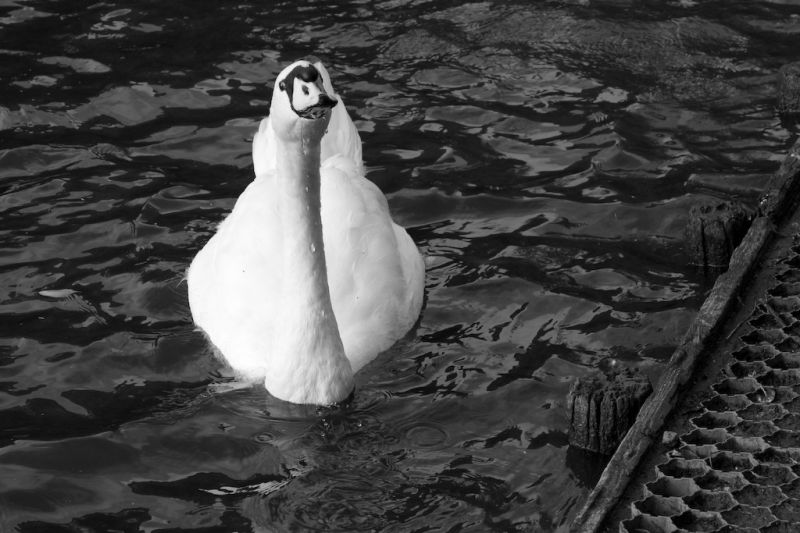 A Swan on the water in oosterpark