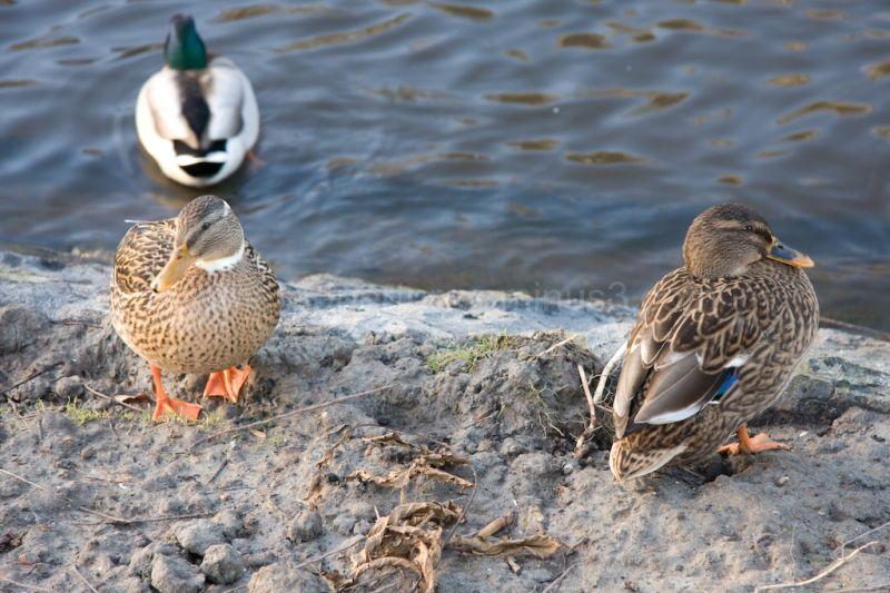 Ducks on an amsterdam canal