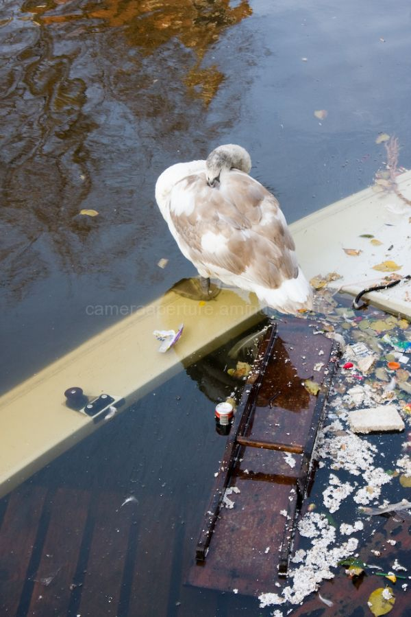Young swan on an Amsterdam canal