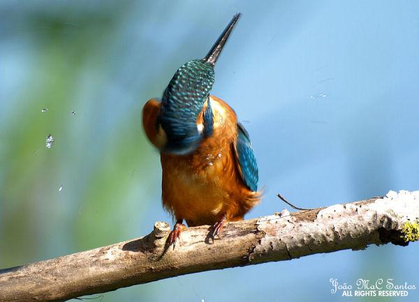 Kingfisher III