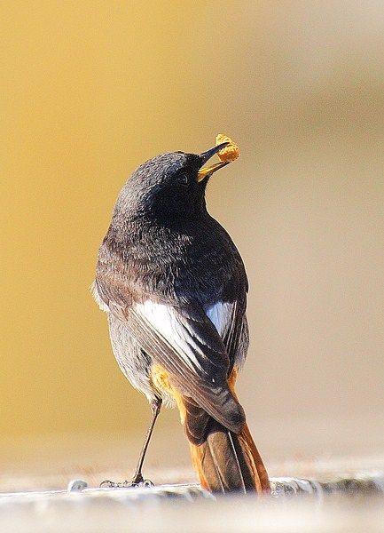 Rabirruivo - Black Redstart