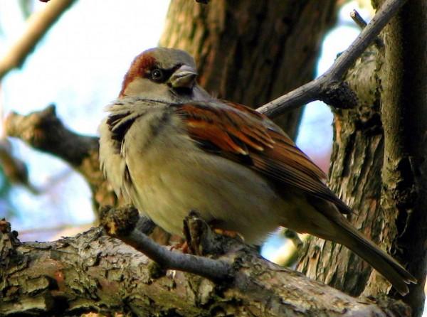 A Sparrow With An Attitude