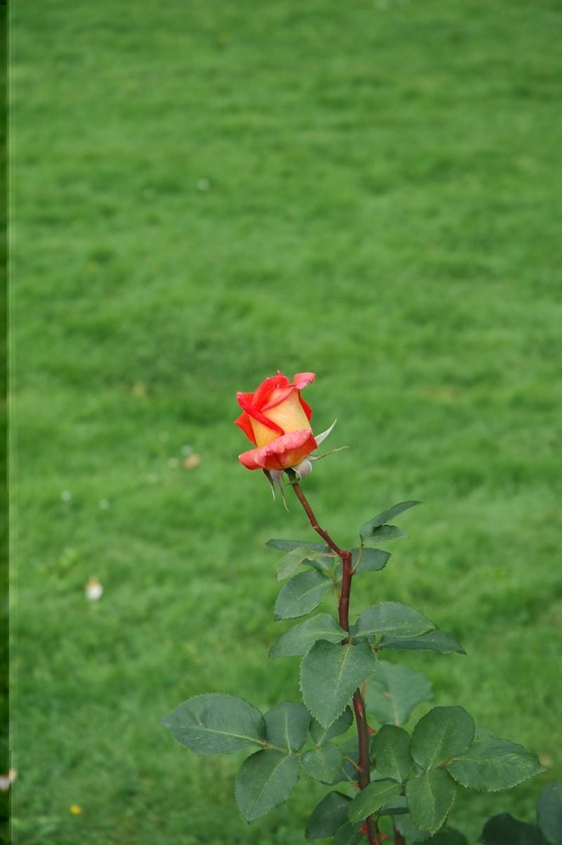 Swedish Rose