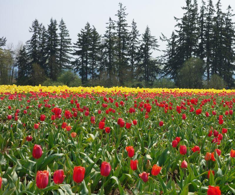 Oregon Tulip Fest