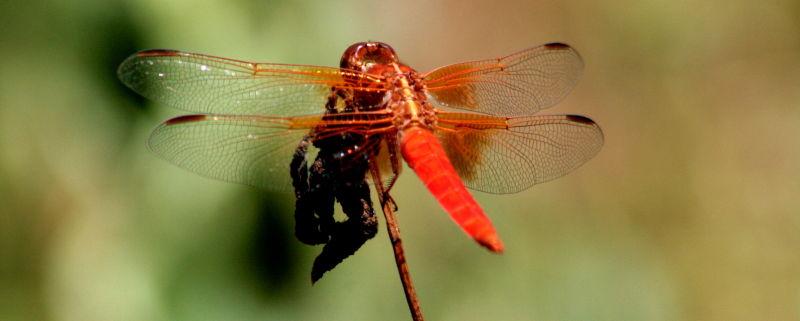 Fiery Dragonfly