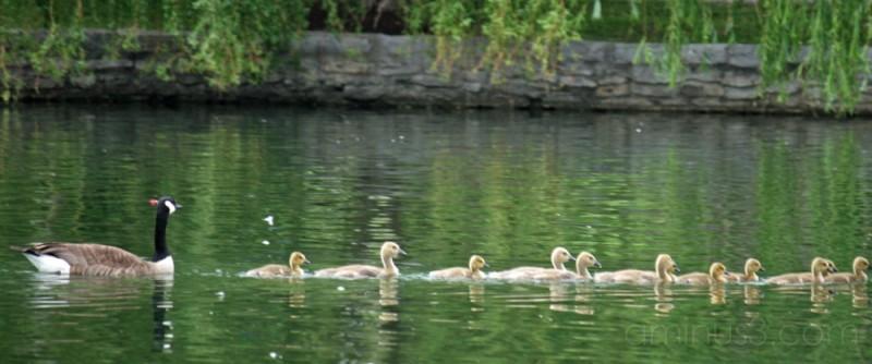 family of geese, centennial park, nashville, tn
