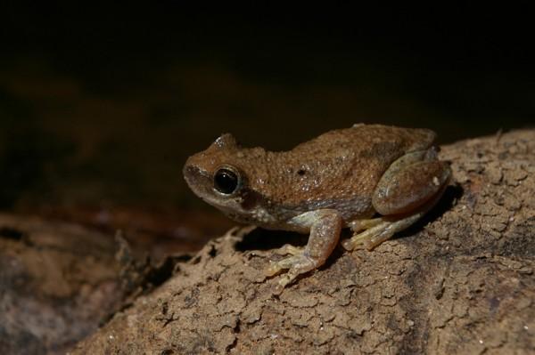 desert frog