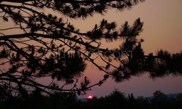 Pine Sunset