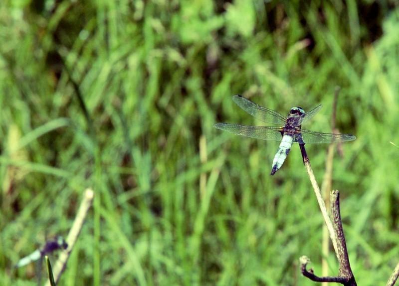 like a dragonfly