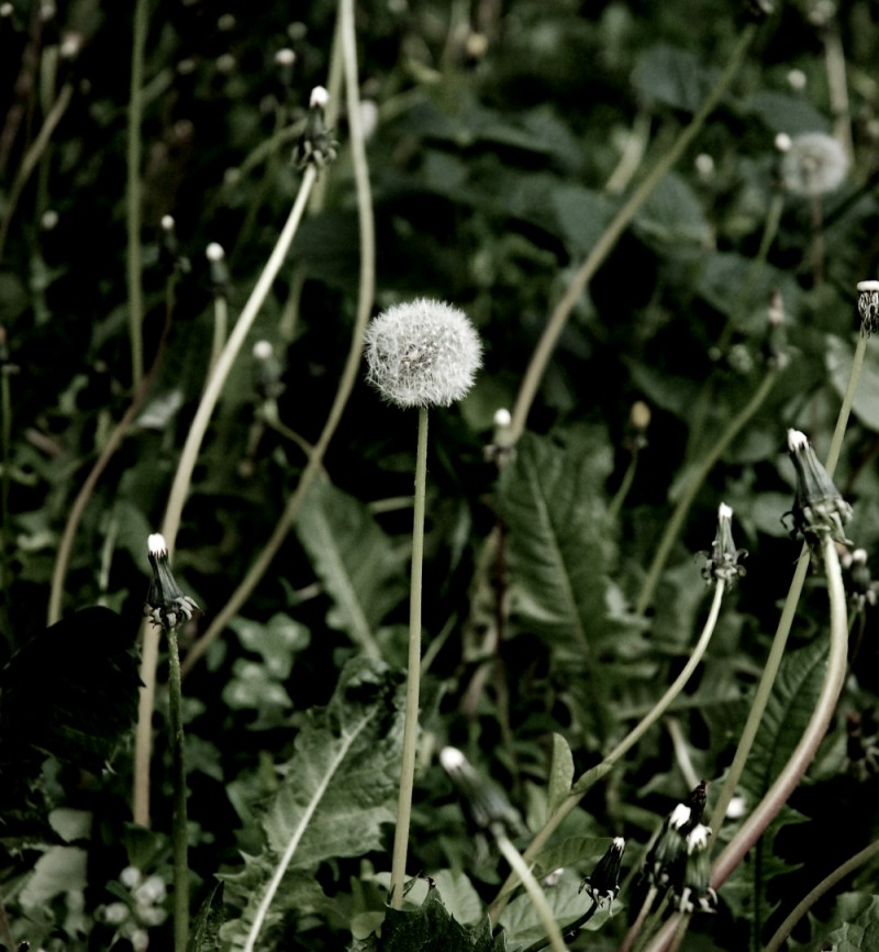 dandelion ll